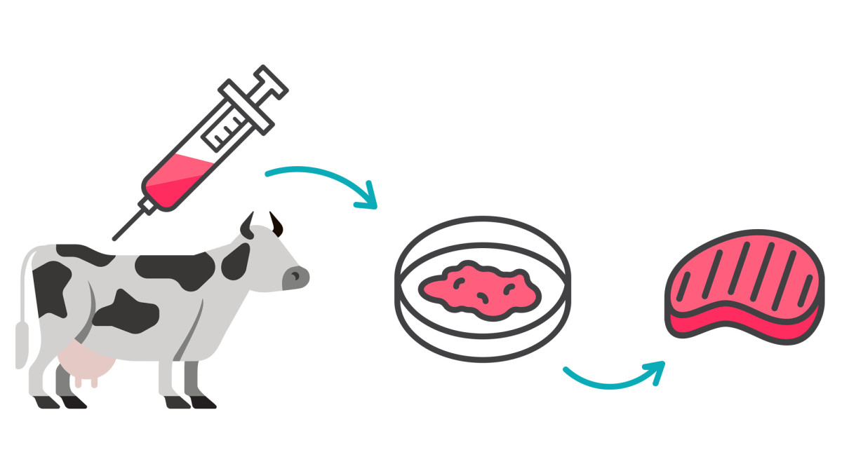The cultivation of lab-grown meat